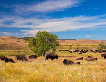 Custer State Park Buffalo Golden Fields South Dakota