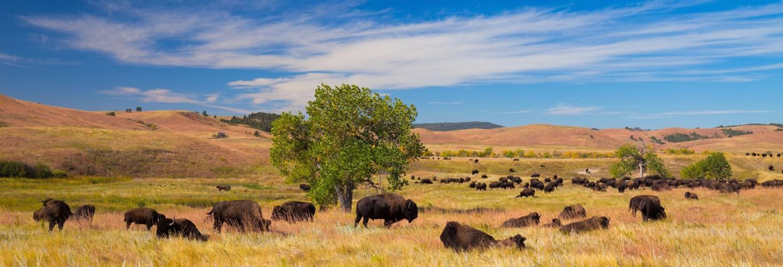 Custer State Park Buffalo Golden Fields South Dakota